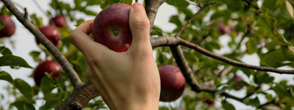 hand plukt appel