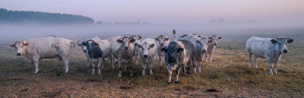 koeien in de Betuwe